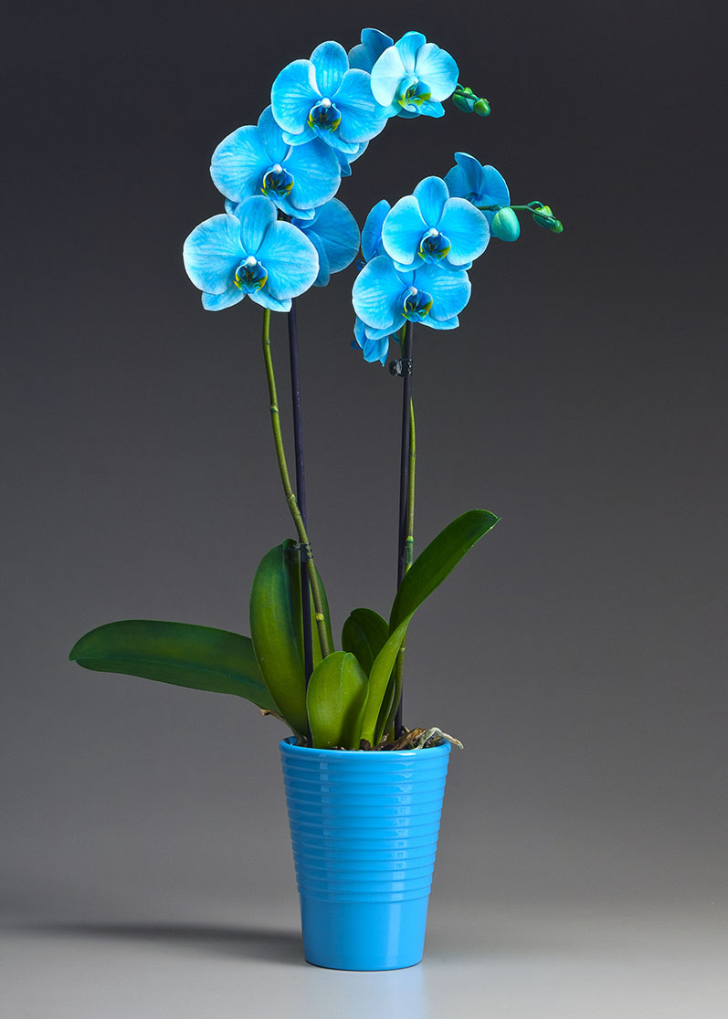 The Gemstone Collection – Infused Phalaenopsis Orchid – Westerlay